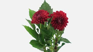Time-lapse of dying red dahlia flower 13b1w in PNG+ format with ALPHA transparency channel isolated on white background