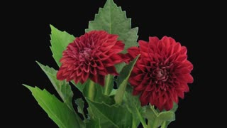 Time-lapse of dying red dahlia flower 13c1 in PNG+ format with ALPHA transparency channel isolated on black background