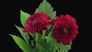 Time-lapse of dying red dahlia flower 13c3 in RGB + ALPHA matte format isolated on black background
