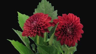 Time-lapse of dying red dahlia flower 13d1 in PNG+ format with ALPHA transparency channel isolated on black background