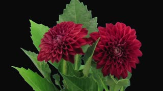 Time-lapse of dying red dahlia flower 13d3 in RGB + ALPHA matte format isolated on black background