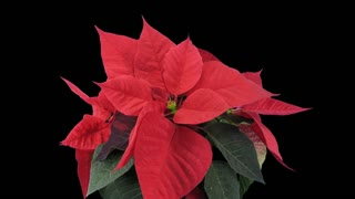 Time-lapse of dying red Poinsettia (Princettia) Christmas flower 10b1 ALPHA transparency channel isolated on black background