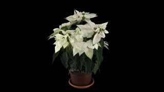 Time-lapse of dying white Poinsettia (Princettia) Christmas flower 13a4 in 4K with ALPHA transparency channel isolated on black background