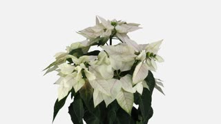 Time-lapse of dying white Poinsettia (Princettia) Christmas flower 13b1w with ALPHA transparency channel isolated on white background