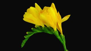 Time-lapse of dying yellow freesia flower 4b3 in RGB + ALPHA matte format isolated on black background