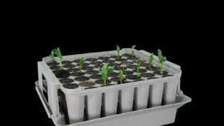 Time-lapse of germinating and growing pea vegetables in a nursery 1a1 with ALPHA transparency channel isolated on black background