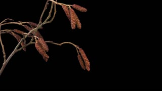 Time-lapse of growing aments (lamb's tails) on a tree 4a1 with ALPHA transparency channel isolated on black background