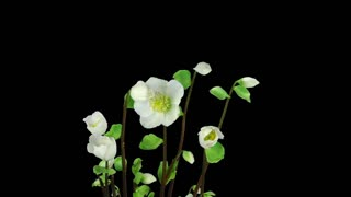 Time-lapse of growing and opening Helleborus Christmas rose 2a3 in RGB + ALPHA matte format isolated on black background