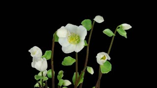 Time-lapse of growing and opening Helleborus Christmas rose 2x1 in PNG+ format with ALPHA transparency channel isolated on black background