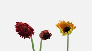 Time-lapse of growing and opening orange and red gerbera flowers 1x1w with ALPHA transparency channel isolated on white background