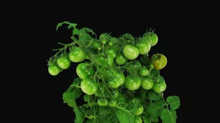 Time-lapse of growing and ripening tomato vegetables 5a3 in RGB + ALPHA matte format isolated on black background
