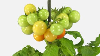 Time-lapse of growing and ripening tomato vegetables 8b1w with ALPHA transparency channel isolated on white background