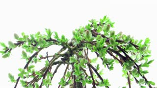 Time-lapse of growing bonsai arbuscula tree 2b1 on white background