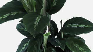 Time-lapse of growing calathea plant 2a1w with ALPHA transparency channel isolated on white background