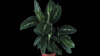 Time-lapse of growing calathea plant 2x1 in PNG+ format with ALPHA transparency channel isolated on black background