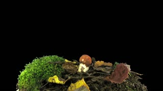 Time-lapse of growing leccinum mushroom in a forest 1a3 in RGB + ALPHA matte format isolated on black background
