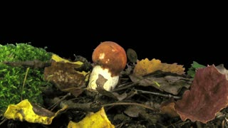 Time-lapse of growing leccinum mushroom in a forest 1b3 in RGB + ALPHA matte format isolated on black background