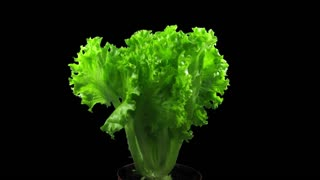 Time-lapse of growing lettuce vegetable 2x3 in RGB + ALPHA matte format isolated on black background