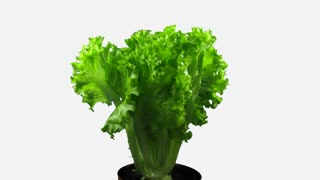 Time-lapse of growing lettuce vegetable 2x4w in 4K format ALPHA transparency channel isolated on white background