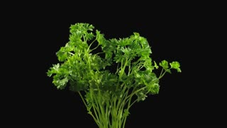 Time-lapse of growing lettuce vegetable 6x4 in 4K PNG + ALPHA transparency channel isolated on black background