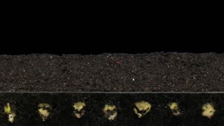 Time-lapse of growing maize vegetables 6a3 in RGB + ALPHA matte format isolated on black background