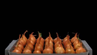 Time-lapse of growing onion sprouts 12a1 in PNG+ format with ALPHA transparency channel isolated on black background.