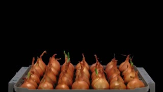 Time-lapse of growing onion sprouts 15a3 in RGB + ALPHA matte format isolated on black background