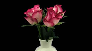 Time-lapse of growing, opening and rotating red-white Blush roses in a vase 1x1 with ALPHA transparency channel isolated on black background