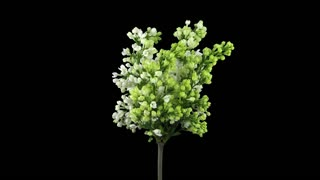 Time-lapse of growing, opening and rotating white Lilac (Syringa) bush branch 1x1 with ALPHA transparency channel isolated on black background
