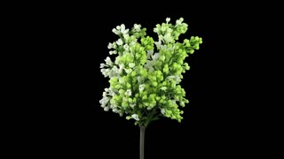 Time-lapse of growing, opening and rotating white Lilac (Syringa) bush branch 1x3 in RGB + ALPHA matte format isolated on black background