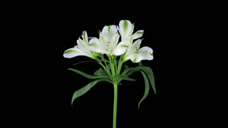 Time-lapse of growing, opening and rotating white Peruvian (Alstroemeria) lily 1b1 with ALPHA transparency channel isolated on black background