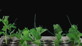 Time-lapse of growing pea plants in a nursery 2x1 in PNG+ format with ALPHA transparency channel isolated on black background