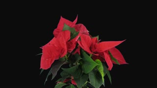 Time-lapse of growing red Poinsettia (Princettia) flower over 3 weeks period 8b1 in PNG+ format with ALPHA transparency channel isolated on black background