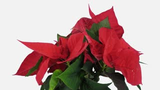 Time-lapse of growing red Poinsettia (Princettia) flower over 3 weeks period 8c1w in PNG+ format with ALPHA transparency channel isolated on white background