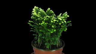 Time-lapse of growing Selaginella (Spykemoss) plant plant 2x1 with ALPHA transparency channel isolated on black background