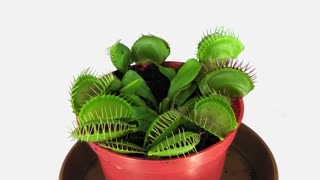 Time-lapse of growing Venus flytrap (Dionaea muscipula) plant 1x1w with ALPHA transparency channel isolated on white background