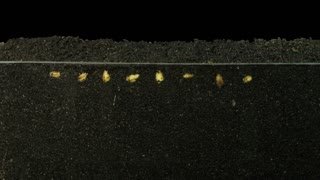 Time-lapse of growing wheat seeds above and below the surface 6x3 in RGB + ALPHA matte format isolated on black background