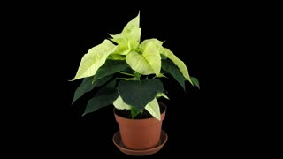 Time-lapse of growing yellow Poinsettia (Princettia) Christmas flower over 3 weeks period 1a4 in 4K PNG+ format with ALPHA transparency channel isolated on black background