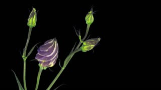 Time-lapse of opening and blooming Eustoma Grandiflorum (Japanese Rose) flower 4x1 with ALPHA transparency channel isolated on black background