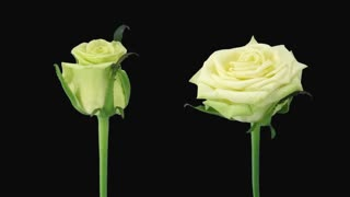Time-lapse of opening and dying green Jade roses 6d1 with ALPHA transparency channel isolated on black background