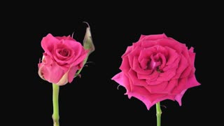 Time-lapse of opening and dying pink Aquarius roses 5d1 in Animation format with ALPHA transparency channel isolated on black background