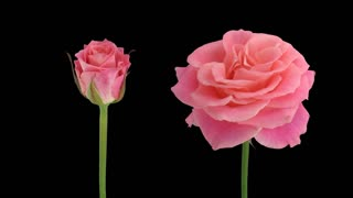 Time-lapse of opening and dying pink Lorena rose 2d1 in Animation format with ALPHA transparency channel isolated on black background
