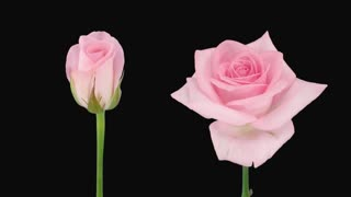 Time-lapse of opening and dying pink Sweet Akito rose 5d2 with ALPHA transparency channel isolated on black background