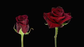 Time-lapse of opening and dying red Happy Hour roses 6d4 in RGB + ALPHA matte format isolated on black background