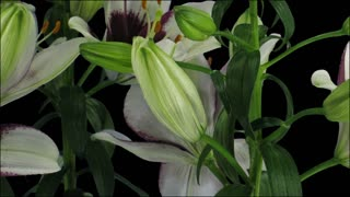 Time-lapse of opening bi-color Asiatic lily Tiny Padhye 5a3 in RGB + ALPHA matte format isolated on black background