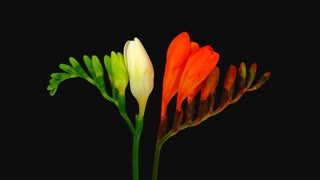 Time-lapse of opening orange and white freesia flowers buds 7b1 with ALPHA transparency channel isolated on black background