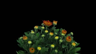 Time-lapse of opening orange chrysanthemum flower buds 1c1 with ALPHA transparency channel isolated on black background