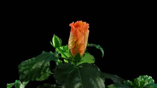 Time-lapse of opening orange hibiscus (Chinese Rose) flower 5x2 in PNG+ format with ALPHA transparency channel isolated on black background
