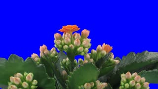 Time-lapse of opening orange kalanchoe flower 2a1 in PNG+ format with ALPHA transparency channel isolated on blue chroma keyed background