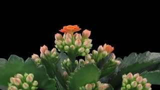 Time-lapse of opening orange kalanchoe flower 2a1 with ALPHA transparency channel isolated on black background